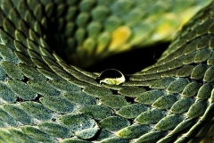 Dew on Snake body