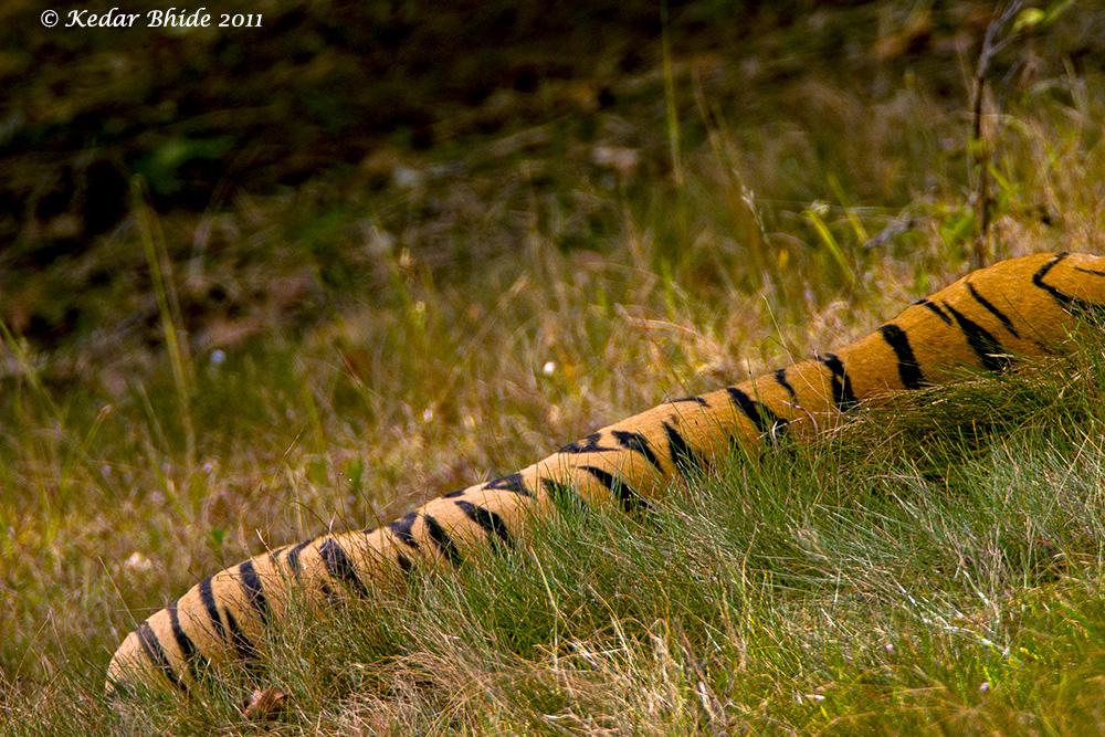 Tiger caterpillar, sleeping tiger