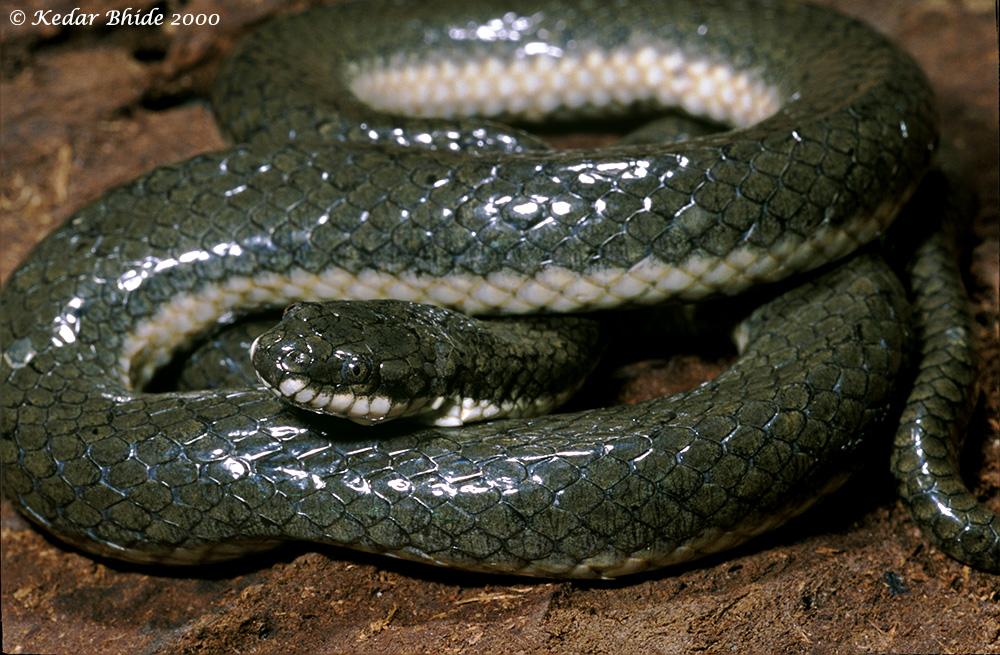 Glossy Marsh Snake