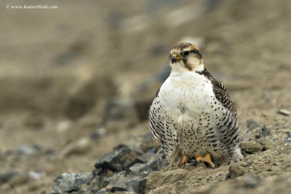 Tibetan Saker Falcon