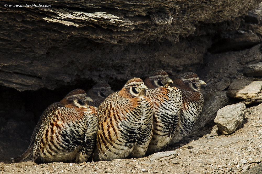 Tibetan Partridges