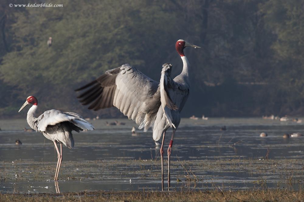 Saras Cranes