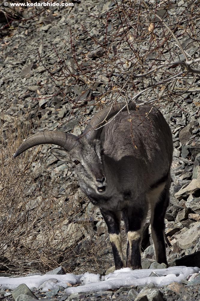 Blue Sheep or Bharal
