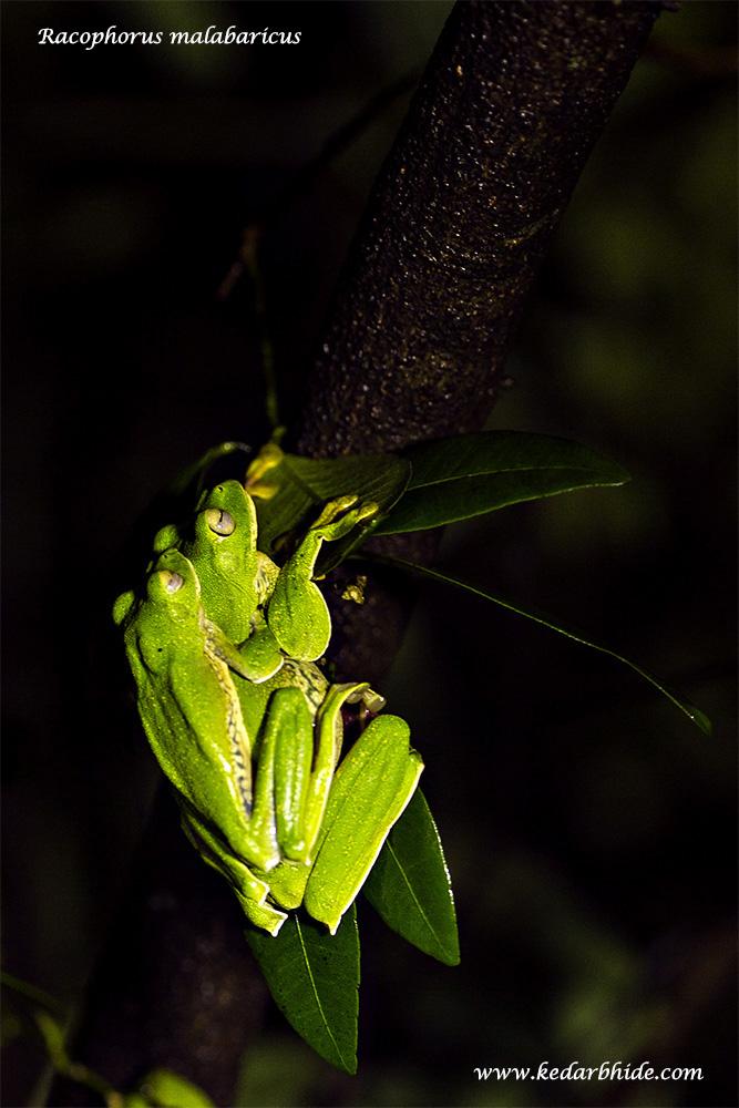 Malabar Gliding Frog (Racophorus Malabaricus)
