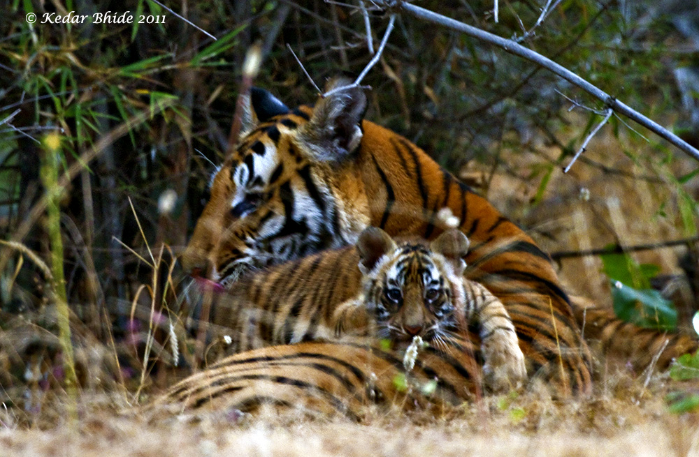 Kankati with cub, Bandhavgarh