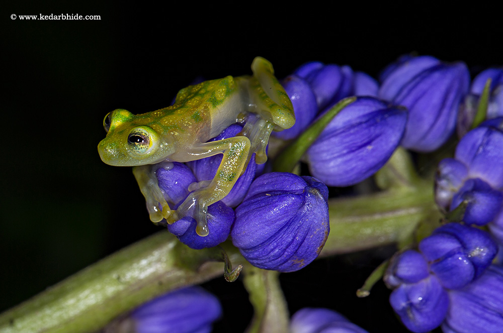 Glass frog , Costa Rica