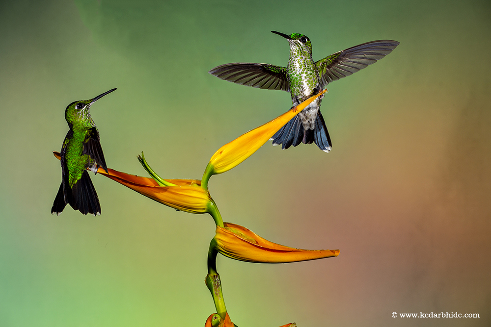 Green Crown Brilliant , Humming bird, Costa Rica