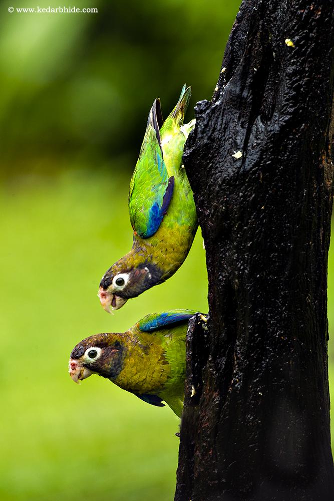 Brown Headed Parrots, Costa Rica