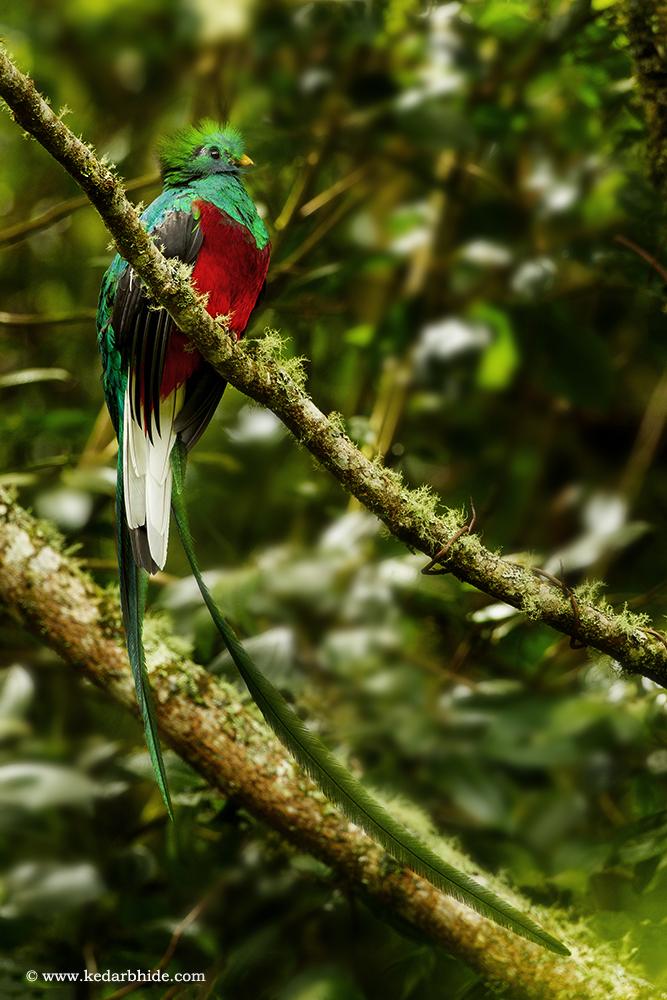 Resplendent quetzal, Costa Rica
