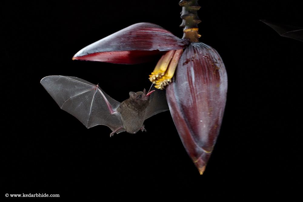 Long tongued Bat, Costa Rica,