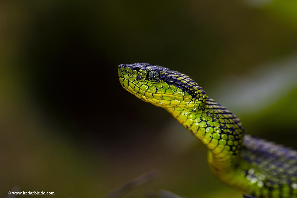 Black speckeled Palm pit viper , Costa Rica