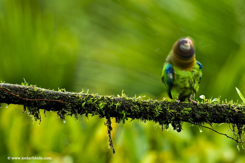 Brown Headed Parrot, Costa Rica