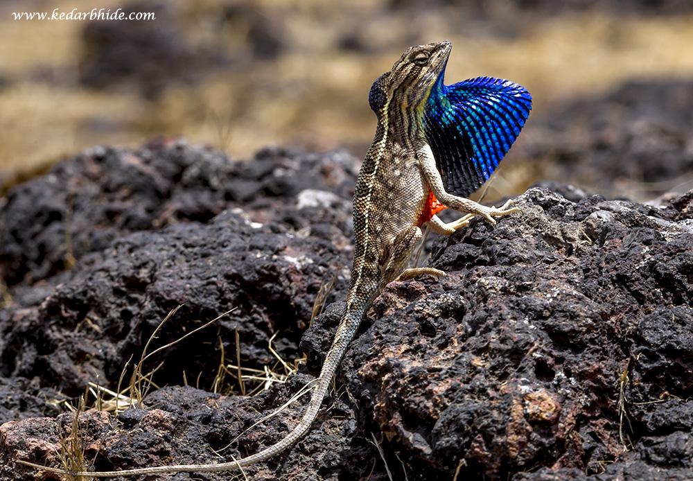 Fan-throated Lizard