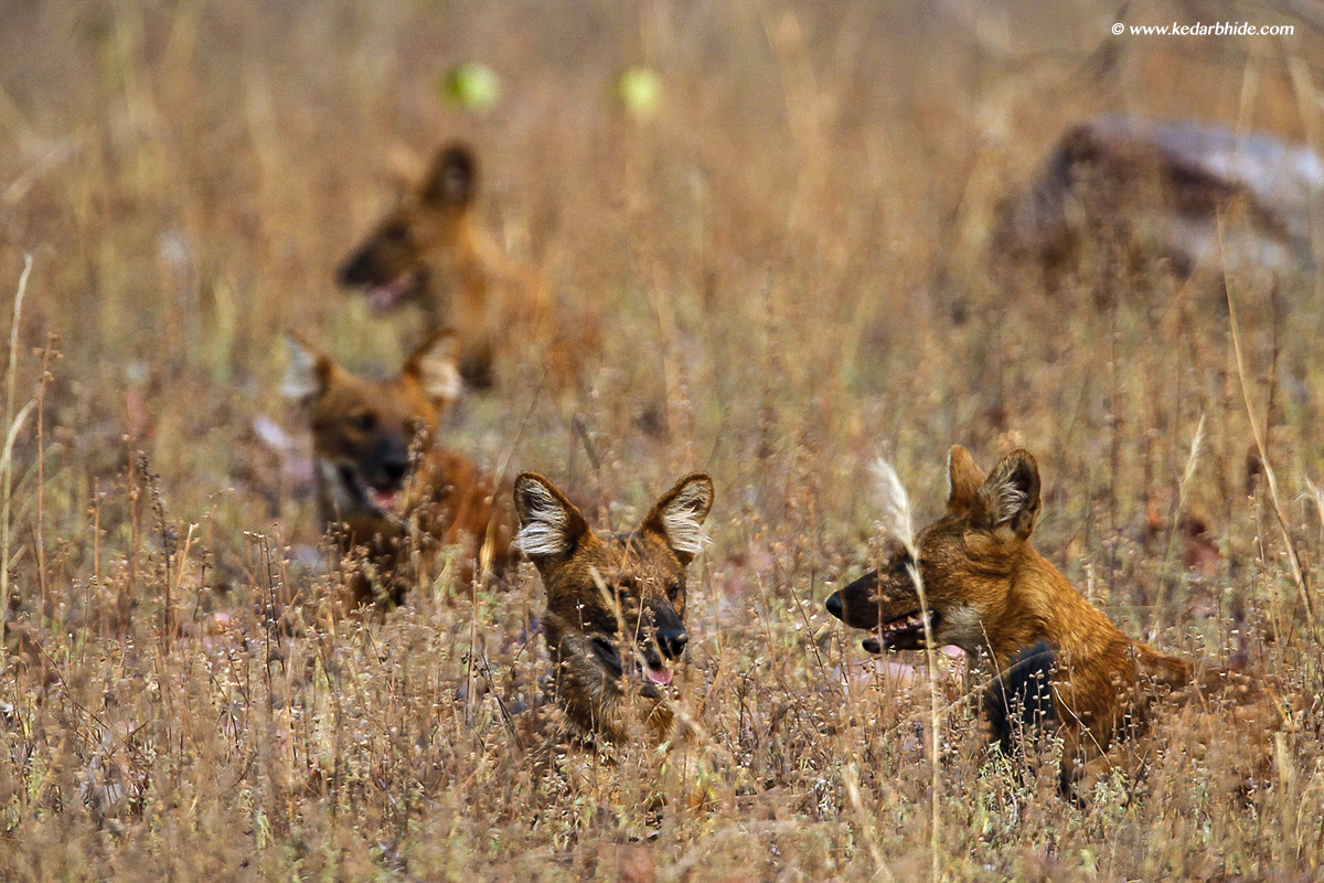 Wild Dogs at Tadoba Tiger Reserve