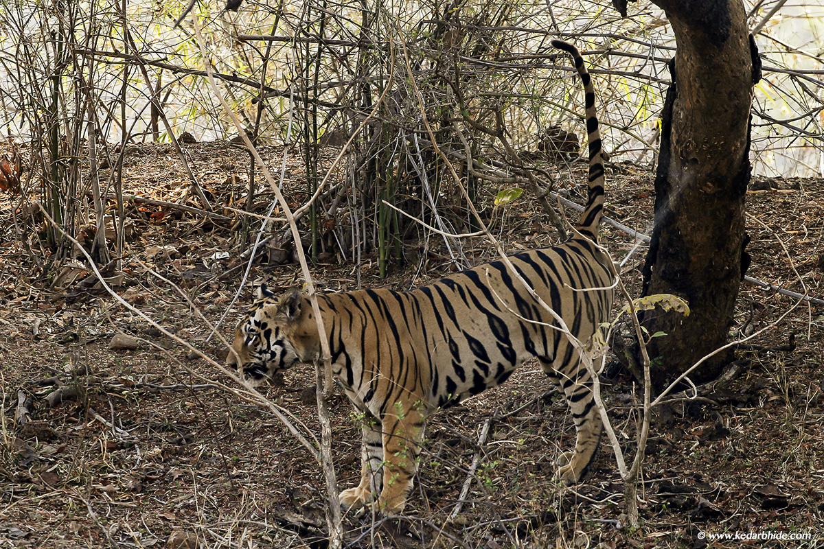 Royal Bengal Tiger, Tadoba Tiger Reserve