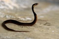 Binocelate Cobra