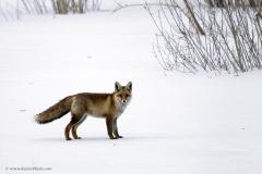 Himalayan Red Fox