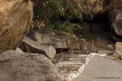 Leopard, Rajasthan