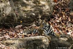 Sidbaba Cub, Bandhavgarh