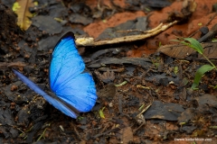 Blue Morpho, A largest Butterfly in Costa Rica