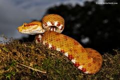 Eye Lash Pit Viper, Orange color form