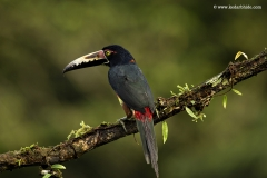 Collared Aracari, a medium size Toucan, Costa Rica