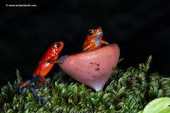 Blue Jeans or strawberry Poison Dart Frog, Costa Rica