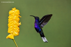 Violet Sabrewing humming bird, Costa Rica