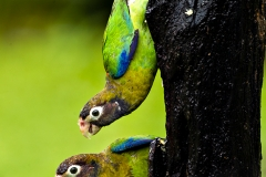 Brown Headed Parrots, Costa Rica