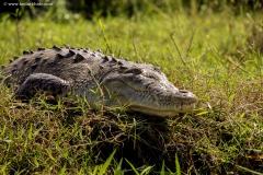 American alligator, Costa Rica