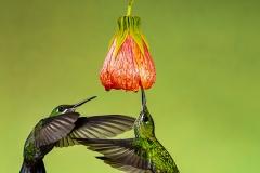 Green Crowned Brilliant Humming bird , Costa Rica