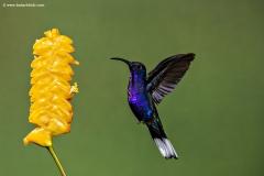 Violet Sabrewing humming bird, Costa Rica