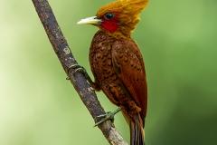 Chestnut headed woodpecker