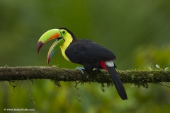 Keel Billed Toucan, Costa Rica