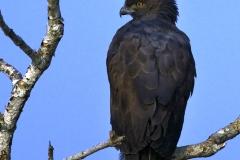Crested Hawk Eagle (Black morph)