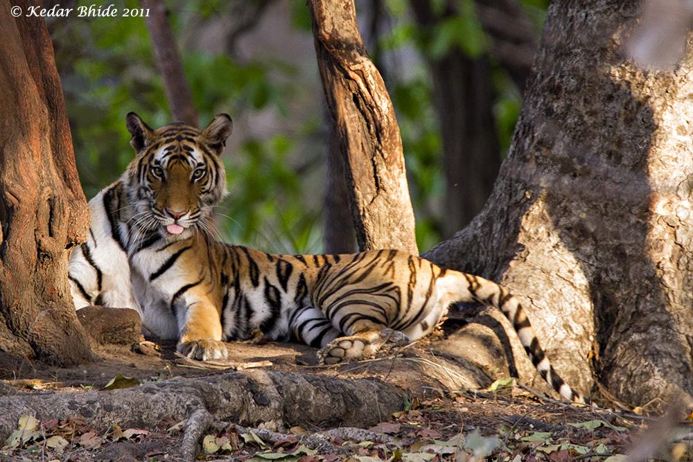 Royal Bengal Tiger, Bandhavgarh