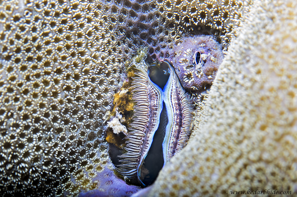 Coral Clam