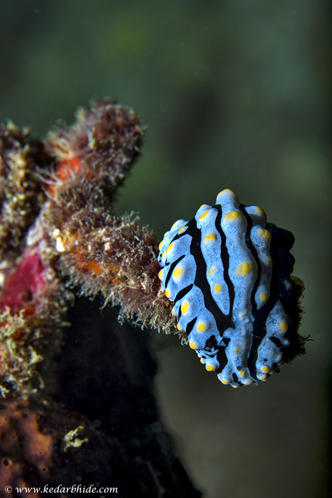 Nudibranchs, Phyllidia sps.