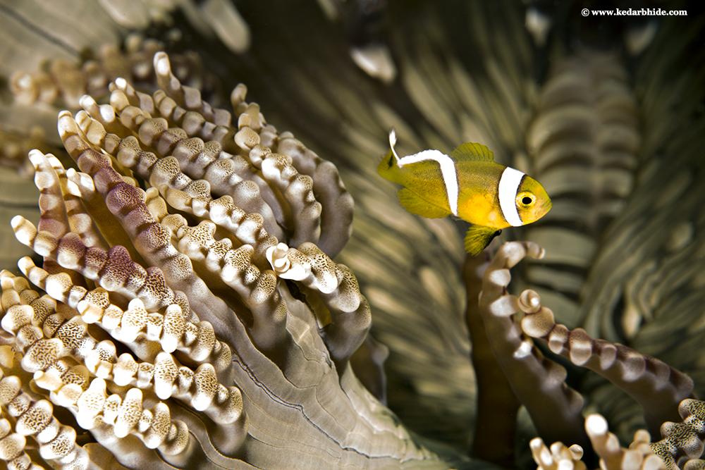 Beaded Anemone with false Clown Fish