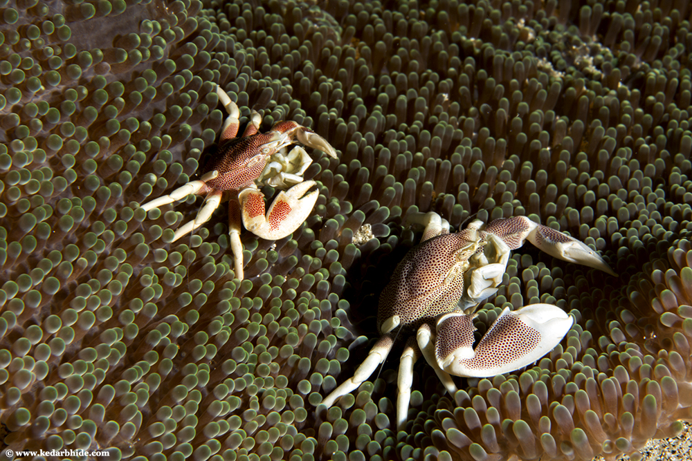 The Porcelain Anemone Crab