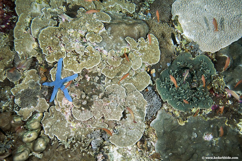 Tropical Coral Reef with Blue Sea Star