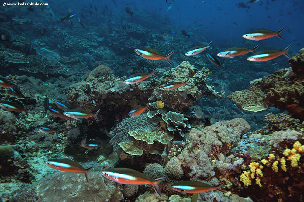 Dark Banded Fusiliers and Tropical Coral Reef