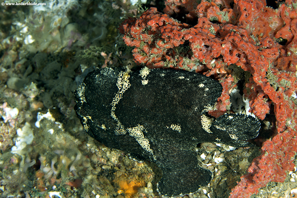 Painted Frogfish, Black Phase