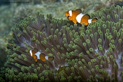 False Clown Fish & Magnificent Sea Anemone