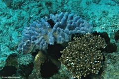 Unidentified Coral
