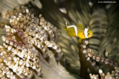 Beaded Anemone with false Clown Fish