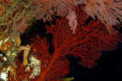 Sea Fan and Polyps