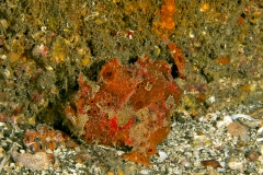 Freckled Frog Fish