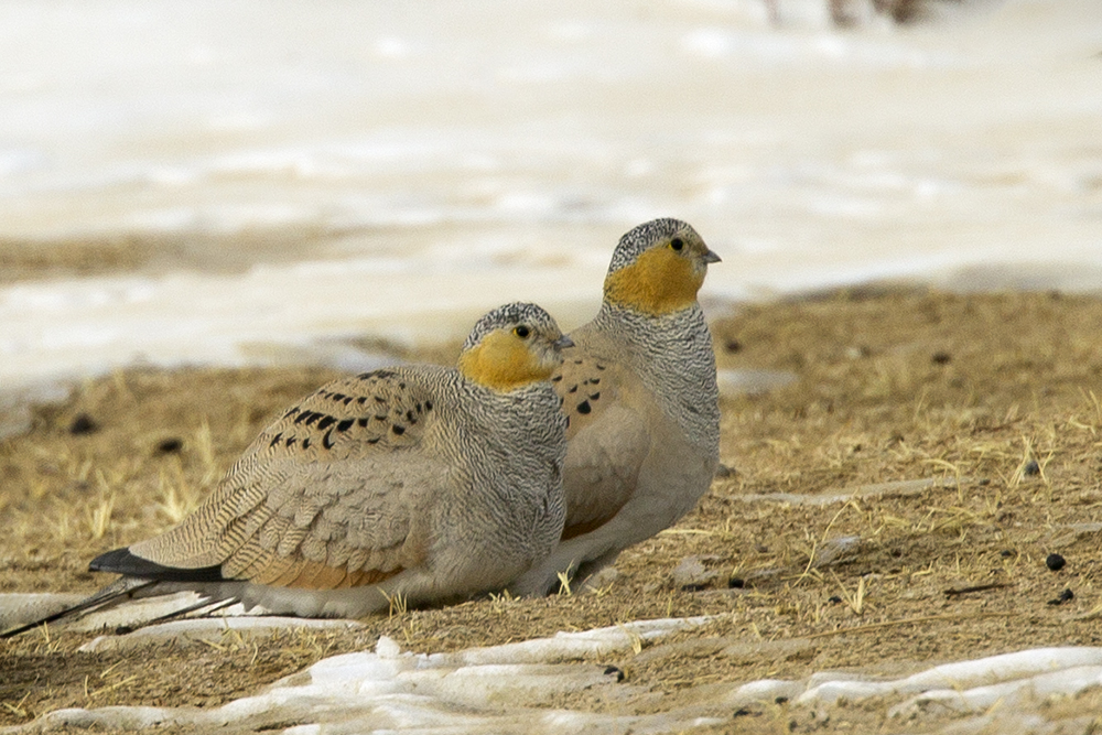 Tibetan Sandgrouse