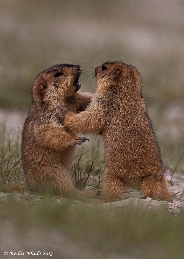 Mormots Sparring for Sanjoy's book